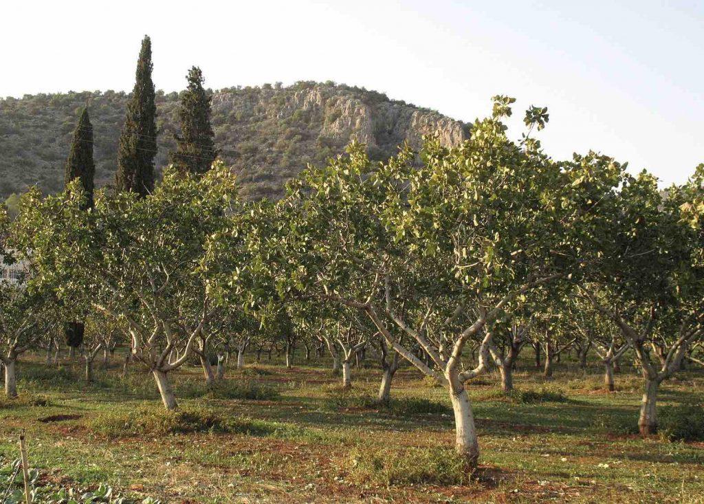 clima del arbol del pistacho